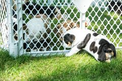 Cute brown wrinkled bulldog puppy in a fenced play area looking at another puppy. Adorable English bulldog puppies behind a pet gate , very wrinkled and looking Stock Photo