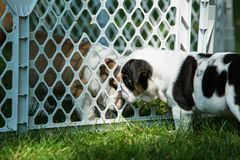Cute brown wrinkled bulldog puppy in a fenced play arealooking at another puppy. Adorable English bulldog puppies behind a pet gate , very wrinkled and looking Stock Photography