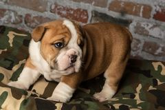 Cute brown wrinkled bulldog puppy on a camo pet bed. Adorable English bulldog puppy on a camo pet bed looking forward Royalty Free Stock Photo