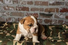 Cute brown wrinkled bulldog puppy on a camo pet bed. Adorable English bulldog puppy on a camo pet bed looking forward Royalty Free Stock Photos