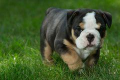 Cute brown and black wrinkled bulldog puppy in the grass looking at something. Adorable English bulldog puppy standing in the grass looking at something royalty free stock photography