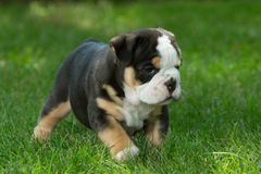 Cute brown and black wrinkled bulldog puppy in the grass looking at something. Adorable English bulldog puppy standing in the grass looking at something royalty free stock photos