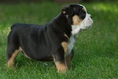 Cute brown and black wrinkled bulldog puppy in the grass looking at something. Adorable English bulldog puppy standing in the grass looking at something royalty free stock image