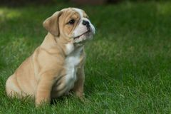 Cute brown wrinkled bulldog puppy in the grass looking at something. Adorable English bulldog puppy standing in the grass looking at something royalty free stock image