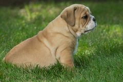 Cute brown wrinkled bulldog puppy in the grass looking at something. Adorable English bulldog puppy standing in the grass looking at something stock images