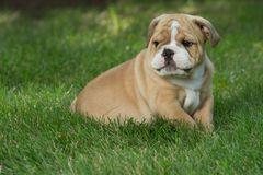 Cute brown wrinkled bulldog puppy in the grass looking at something. Adorable English bulldog puppy standing in the grass looking at something royalty free stock photo
