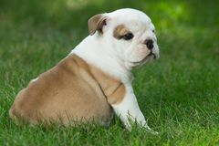 Cute brown wrinkled bulldog puppy in the grass looking at something. Adorable English bulldog puppy standing in the grass looking at something stock photo