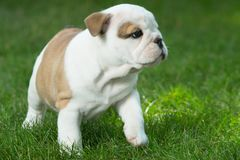 Cute brown wrinkled bulldog puppy in the grass looking at something. Adorable English bulldog puppy standing in the grass looking at something royalty free stock photography