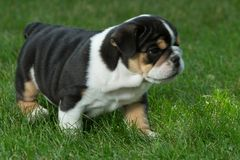 Cute brown wrinkled bulldog puppy in  the grass looking sad. Adorable English bulldog puppy standing in the grass looking at something Stock Image