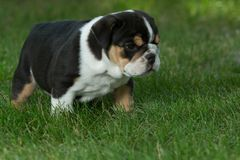 Cute brown wrinkled bulldog puppy in  the grass looking sad. Adorable English bulldog puppy standing in the grass looking at something Royalty Free Stock Photography