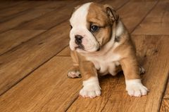 Cute brown wrinkled bulldog puppy in the studio,lookingleft. Adorable English bulldog puppy in the studio, looking at something to the left royalty free stock photo