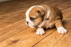 Cute brown wrinkled bulldog puppy in the studio, standing and facing left. Adorable English bulldog puppy in the studio, standing and facing left royalty free stock photography