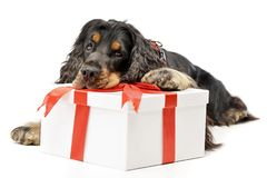 An adorable English Cocker Spaniel with a giftbox. Studio shot, isolated on white stock image