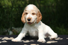 Adorable English Cocker Spaniel puppy sitting Stock Photos