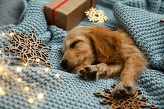 Adorable English Cocker Spaniel puppy sleeping near Christmas decorations on knitted blanket. Winter season