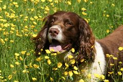 A cute English Springer Spaniel Dog Canis lupus familiaris in a field of wild buttercup flowers. An adorable English Springer Spaniel Dog Canis lupus familiaris Stock Image