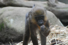 Adorable Face of a Baby Mandrill Monkey Royalty Free Stock Photos