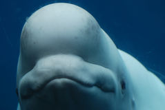 Adorable Face of a Beluga Whale Underwater Royalty Free Stock Photos