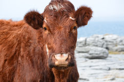 Adorable Face of a Brown Cow on the Burren Royalty Free Stock Photography