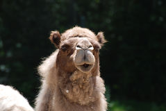 Adorable Face of a Desert Camel Royalty Free Stock Images