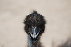 Adorable Face of an Emu with Black Feathers Stock Image