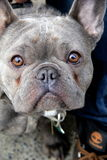 Adorable face of a French Bull Dog Stock Photography
