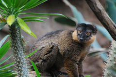 Adorable Face of a Red Collared Brown Lemur. Really cute face of red collared brown lemur Royalty Free Stock Photo
