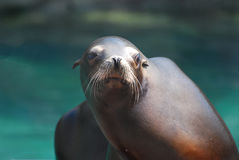 Adorable Face of a Sea Lion Stock Photos