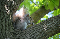 Adorable Face of a Squirrel in a Tree Royalty Free Stock Photo