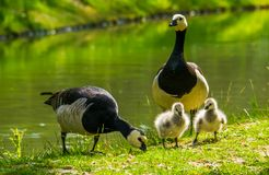 Adorable family portrait of cackling geese together at the water side, Goose with goslings, tropical bird specie from America. A adorable family portrait of stock image