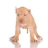 Adorable fawn pit bull puppy Royalty Free Stock Photography