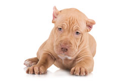 Adorable fawn pit bull puppy. American pit bull terrier puppies Stock Image