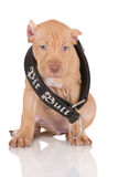 Adorable fawn pit bull puppy in a large collar Royalty Free Stock Image