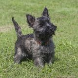 Adorable Female Cairn Terrier Puppy stock photography