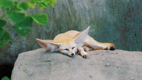 Adorable Fennec fox sleeping on big stone at the zoo. Beautiful furry captive animal. Vulpes Fennecus zerda.