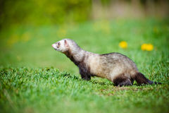 Adorable ferret outdoors Royalty Free Stock Photo