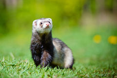 Adorable ferret outdoors Royalty Free Stock Photography