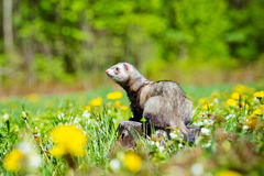 Adorable ferret outdoors Royalty Free Stock Photos