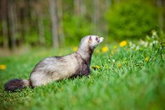 Adorable ferret outdoors Stock Image
