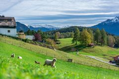 Adorable Sheep With Mountain View stock photo