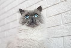 Adorable fluffy cat with blue eyes posing indoors. Highland straight cat with blue eyes indoors Royalty Free Stock Image