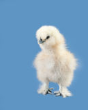 Adorable fluffy Easter chick Royalty Free Stock Images