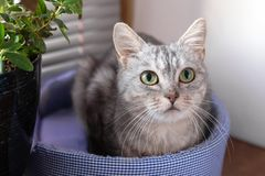 Adorable gray tabby cat with green eyes is sitting on a cat bed near to a window and pot plant and looking to the camera royalty free stock photo
