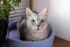 Adorable gray tabby cat with green eyes is sitting on a cat bed near to a window and pot plant and looking to the camera stock images