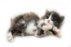 Adorable  fluffy kitten Royalty Free Stock Photography
