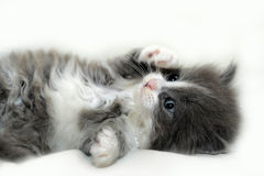 Adorable  fluffy kitten Stock Photography