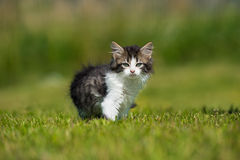 Adorable fluffy kitten walking outdoors Stock Photos