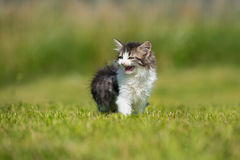 Adorable fluffy kitten walking outdoors Stock Images