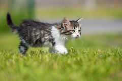 Adorable fluffy kitten walking outdoors Royalty Free Stock Image