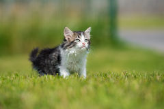Adorable fluffy kitten walking outdoors Royalty Free Stock Photography